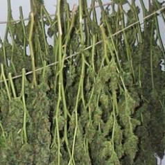 Dertig kilo drugs gevonden in woning Goudsesingel