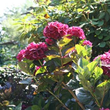 Japanse planten, de VOC en Von Siebold