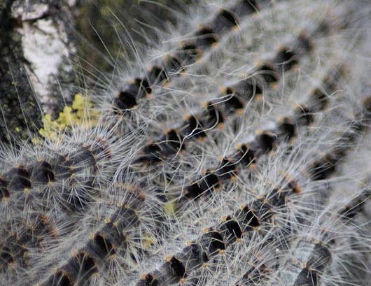 De eikenprocessierups is weer gesignaleerd in het Kralingse Bos