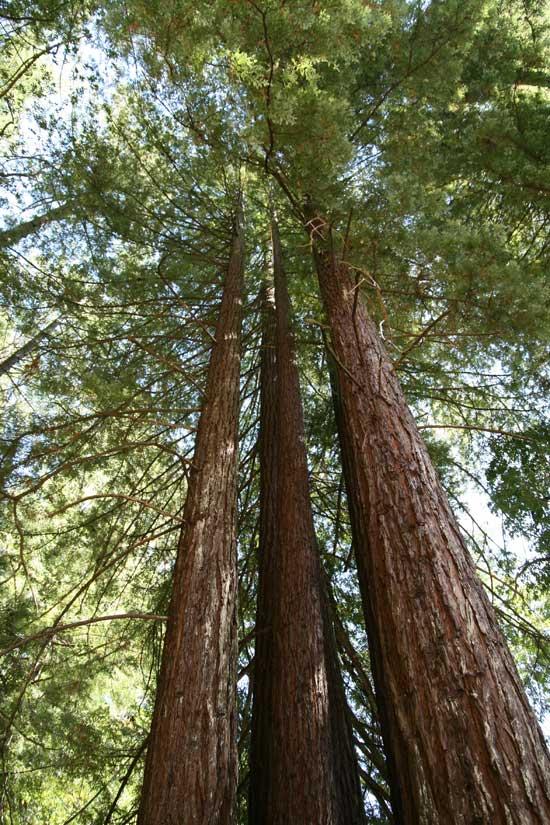 Sequoia_sempervirens