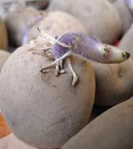 uitlopende aardappel
