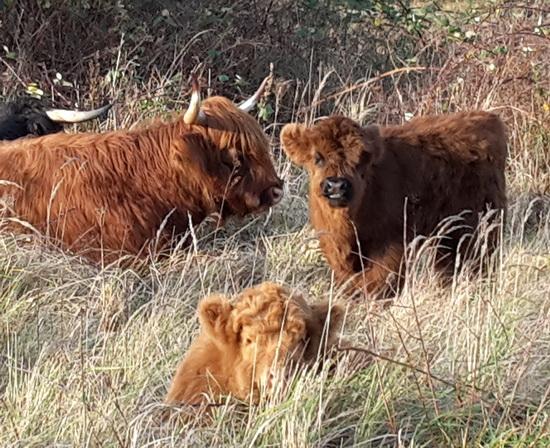 Koeien Eiland van Brienenoord op vakantie