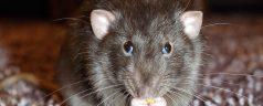 Rattenoverlast neemt toe in Kralingen Crooswijk