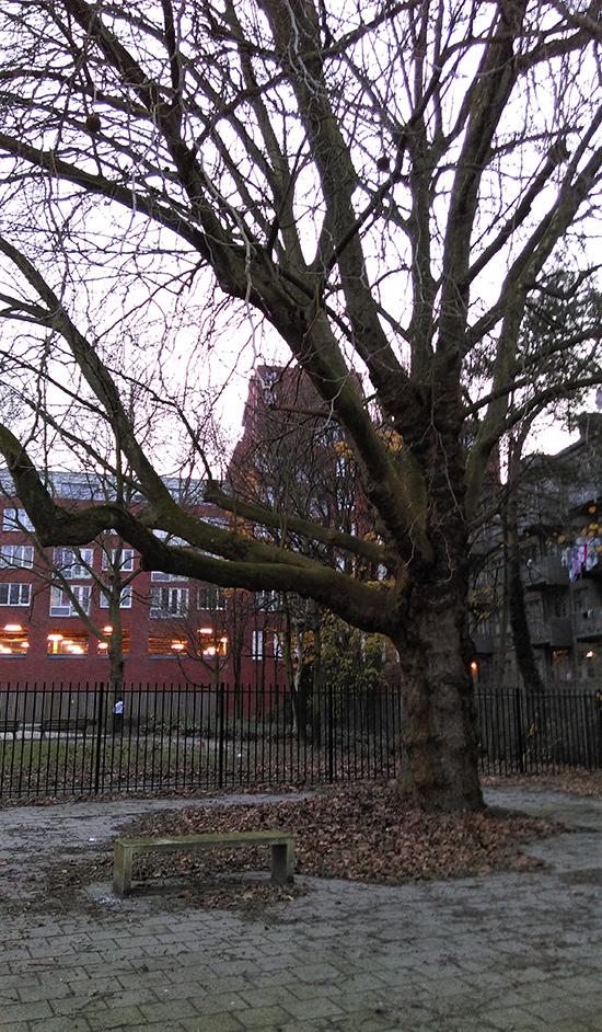 Red de monumentale Plataan Adamshofstraat