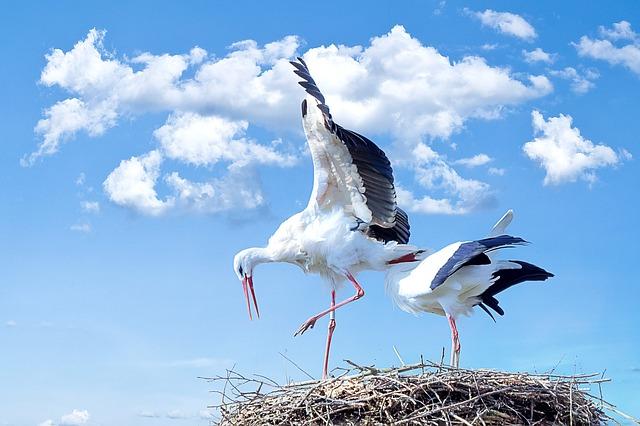 Falende ooievaars krijgen hulp bij bouw van nest Kralingse Bos