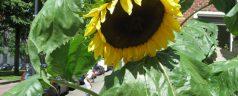 Enorme zonnebloemen Avenue Concordia