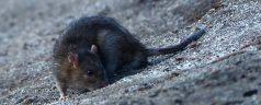 Rattenplaag op Erasmus Universiteit