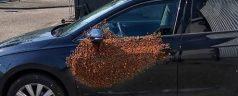 20.000 bijen op portier van auto Prins Alexander