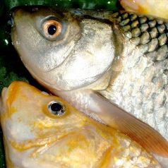 Honderden vissen sterven happend naar adem in hoekje Kralingse Plas