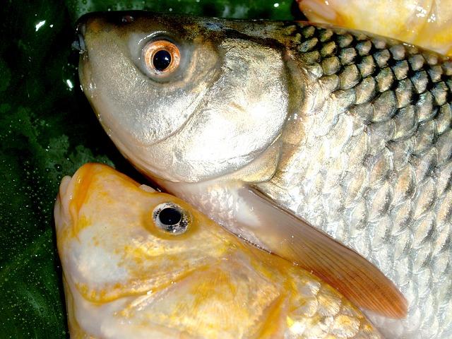 Dode vissen in Kralingse Plas
