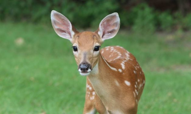 Partij voor de Dieren wil borden en boetes tegen herten voeren in Kralingse Bos