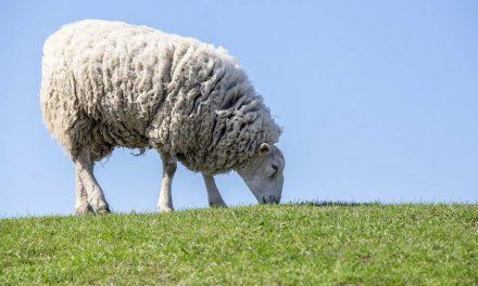 Wie helpt van Hollandse wol isolatiemateriaal te maken?